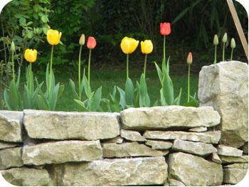Tulipes fin printemps 2012
